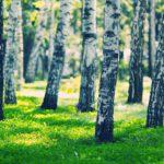White birches forest